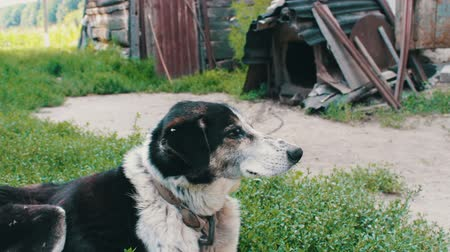 arquejo : Old exhausted dog with bitten flies and rotten ears is leaning on the chains in the yard Stock Footage