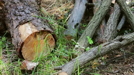 sawn : Sawn tree trunk in the forest. The trunk of tree was only cut down and left sawdust around Stock Footage