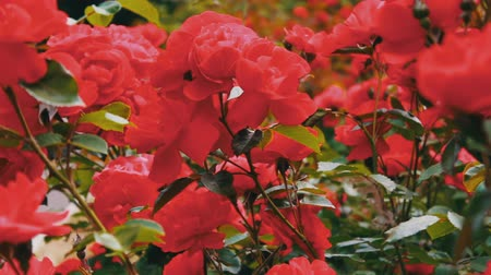 escarlate : Pink roses in the Park, flower garden, tender roses growing in the garden, flowers with dew on petals, landscaping, shrub rose, nature, rural, beautiful. Stock Footage