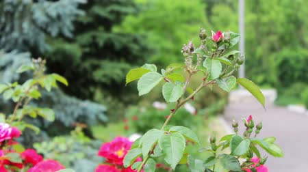 escarlate : Flowering roses in the summer park are fluttering in wind