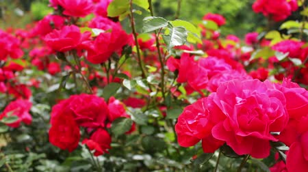 escarlate : Beautiful lush pink rose in a summer park close view Stock Footage