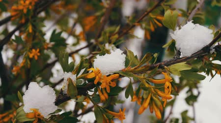 krokus : Spring flowers with green leaves in the snow. Green branches in the snow