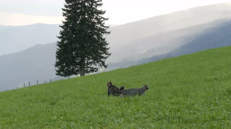 grey eyes : Cute striped cats play and have fun in the green grass against the backdrop of a picturesque mountainous Austrian valley Stock Footage