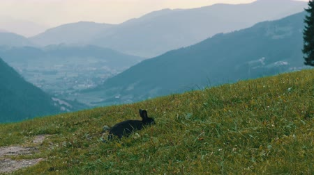 hind : Cute fluffy black rabbit chews grass on background of the picturesque Austrian valley Stock Footage