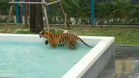bengal cat : Tiger walking in a blue pool Stock Footage