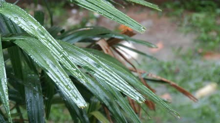 gust of wind : Rain drops flow down on palm leaves. Tropical Rain in Asian Countries