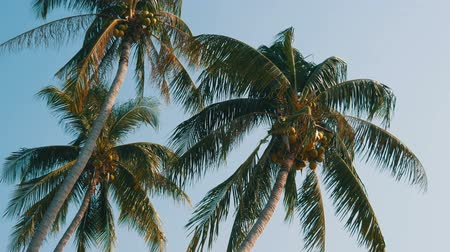 breezy : Three coconut palms with green coconuts on palm tree