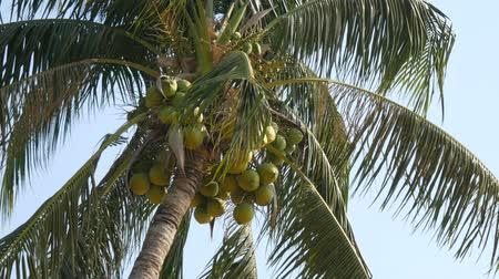 breezy : Coconut palms with green coconuts on palm tree Stock Footage