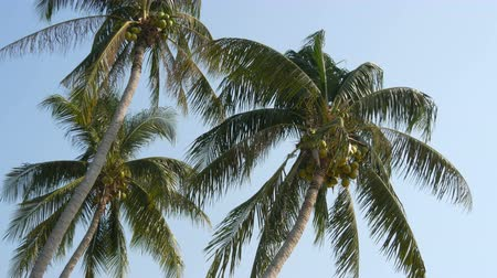 aeroespaço : Three coconut palms with green coconuts on palm tree