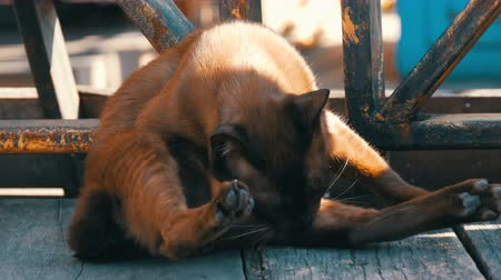 mourek : Cat of beautiful unusual brown color washed on the street under the suns rays Dostupné videozáznamy