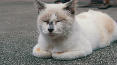 domestic short haired : Unusual color white cat sleeps on street close up view Stock Footage