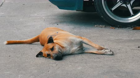 csikk : Red stray dog lies on the street of one of the cities of Thailand Stock mozgókép
