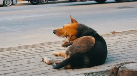 egemen : Homeless brown-black dog lies on street in Thailand Stok Video
