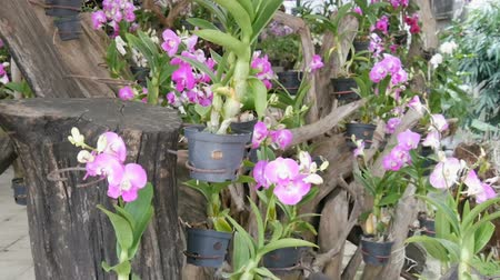 phalaenopsis : Large greenhouse with beautiful lily orchids. Many delicate purple flowers on in the botanical garden
