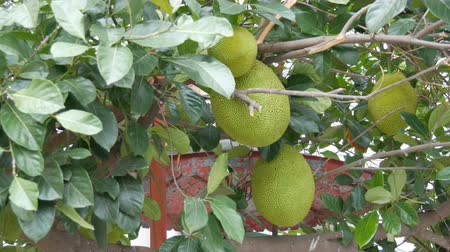 tropikal iklim : Huge fruits of the breadfruit grow right on the street of Thailand. Exotic fruits on the tree Stok Video