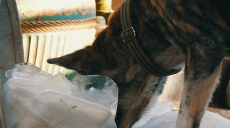 кора : Lonely homeless dog is looking for food in a garbage can in the mud of packages and food rests