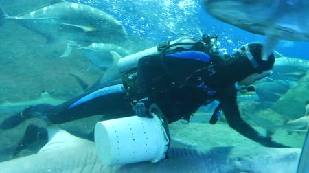 anemon : Pattaya, Thailand - January 23, 2018: Scuba diver feeds sharks and other large fish in the aquarium with transparent glass