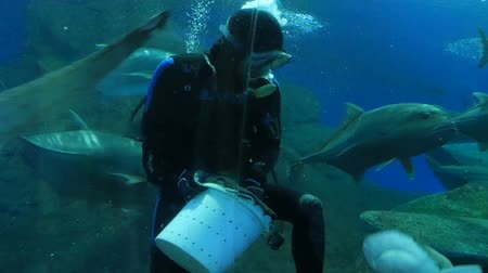submerge : Pattaya, Thailand - January 23, 2018: Scuba diver feeds sharks and other large fish in the aquarium with transparent glass