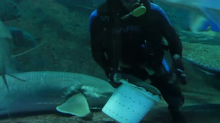 downtown aquarium : Pattaya, Thailand - January 23, 2018: Scuba diver feeds sharks and other large fish in the aquarium with transparent glass
