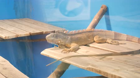 zupa groszek : Gray iguana behind the glass in enclosure of the zoo Wideo