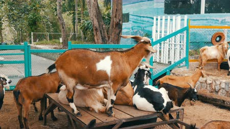 kapualj : Herd of goats on goat farm