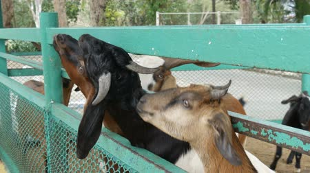 kapualj : Funny goats eat grass directly from hands Stock mozgókép