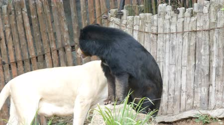predatório : White lioness and black Himalayan bear in zoo in one cage