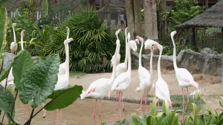gregarious animal : Flock of white flamingos walks on a pond in the zoo Stock Footage