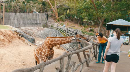жевать : Si Racha, Thailand - January 11, 2018: Tourists are fed from hands a giraffe in the zoo khao kheo