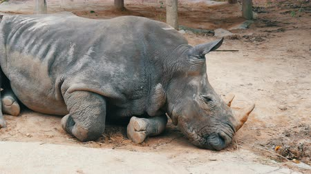 fulllength : Rhino lies on the ground in zoo khao kheo Thailand