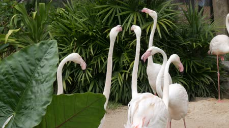 flamingi : Flock of white flamingos walks on a pond in the zoo Wideo