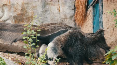 partially : Pair of anteaters is in the khao kheo zoo, Thailand Stock Footage