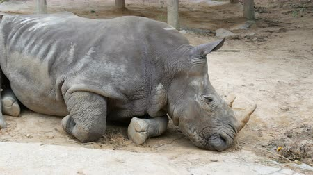 white rhino : Rhino lies on the ground in zoo khao kheo Thailand