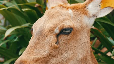 savana : Beautiful deer sitting in green bush close up view. Hand deer in zoo khao kheo, Pattaya, Thailand