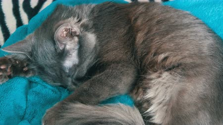 home grown : Gray cat sleeping on blue blanket Stock Footage