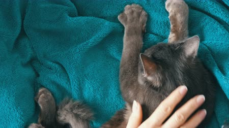 nagy macska : Female hands gently stroke the fur of a gray cat that sleeps top view. Cat purrs and massages with his paws