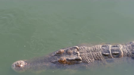 crocodilo : Large long crocodile swims in the green water. Crocodile farm Vídeos