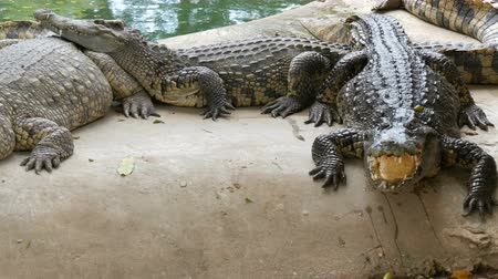 agressivo : Large number of large crocodiles rest on the shore of the lake