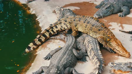 alligator head : Crocodiles lie on top of each other. Top view . Crocodiles in captivity. Stock Footage