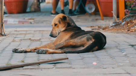 бездомный : Homeless brown-black dog lies on street in Thailand Стоковые видеозаписи
