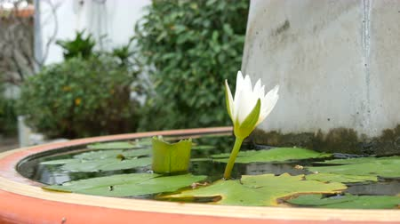 landscaping rocks : Decorative garden lily in artificial pond. Beautiful white decorative flower in a small artificial reservoir