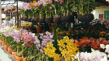 dendrobium : PATTAYA, THAILAND - DECEMBER 16, 2017: Various beautiful flowers in pots in botanical garden or on a store shelves Stock Footage