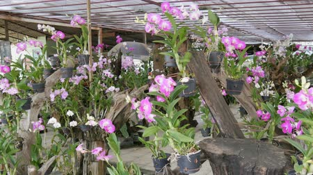 dendrobium : Large greenhouse with beautiful lily orchids. Many delicate purple flowers on in the botanical garden
