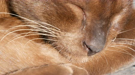 domestic short haired : The smooth-haired cat lies with closed eyes. Macro close up. Extraordinary wool sparkles in the sun. Very beautiful cat of unusual brown color sleeps. Stock Footage