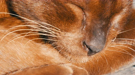 domestic short haired : Very beautiful cat of unusual brown color sleeps. The smooth-haired cat lies with closed eyes. Macro close up