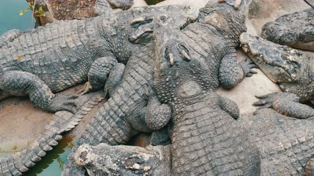 crocodilo : Lot of large crocodiles lie on top of each other. Top view . Crocodiles in captivity.