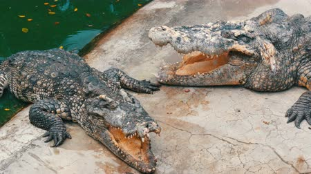 dravý : The crocodile lies with open mouth. Crocodile farm in Pattaya, Thailand