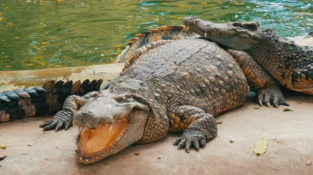 cobra : The crocodile lies with open mouth. Crocodile farm in Pattaya, Thailand