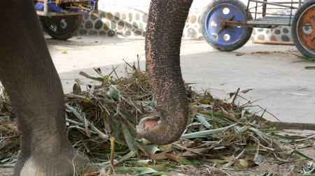 elefant : Chained to the ground with chain elephant eating grass with a trunk