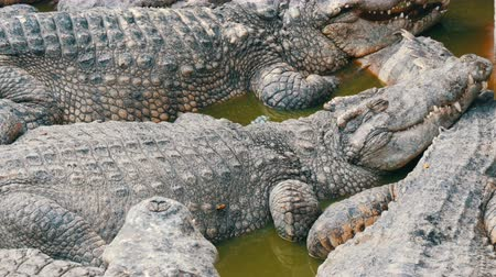 predatório : Crocodile farm in Pattaya, Thailand. Crocodiles rest